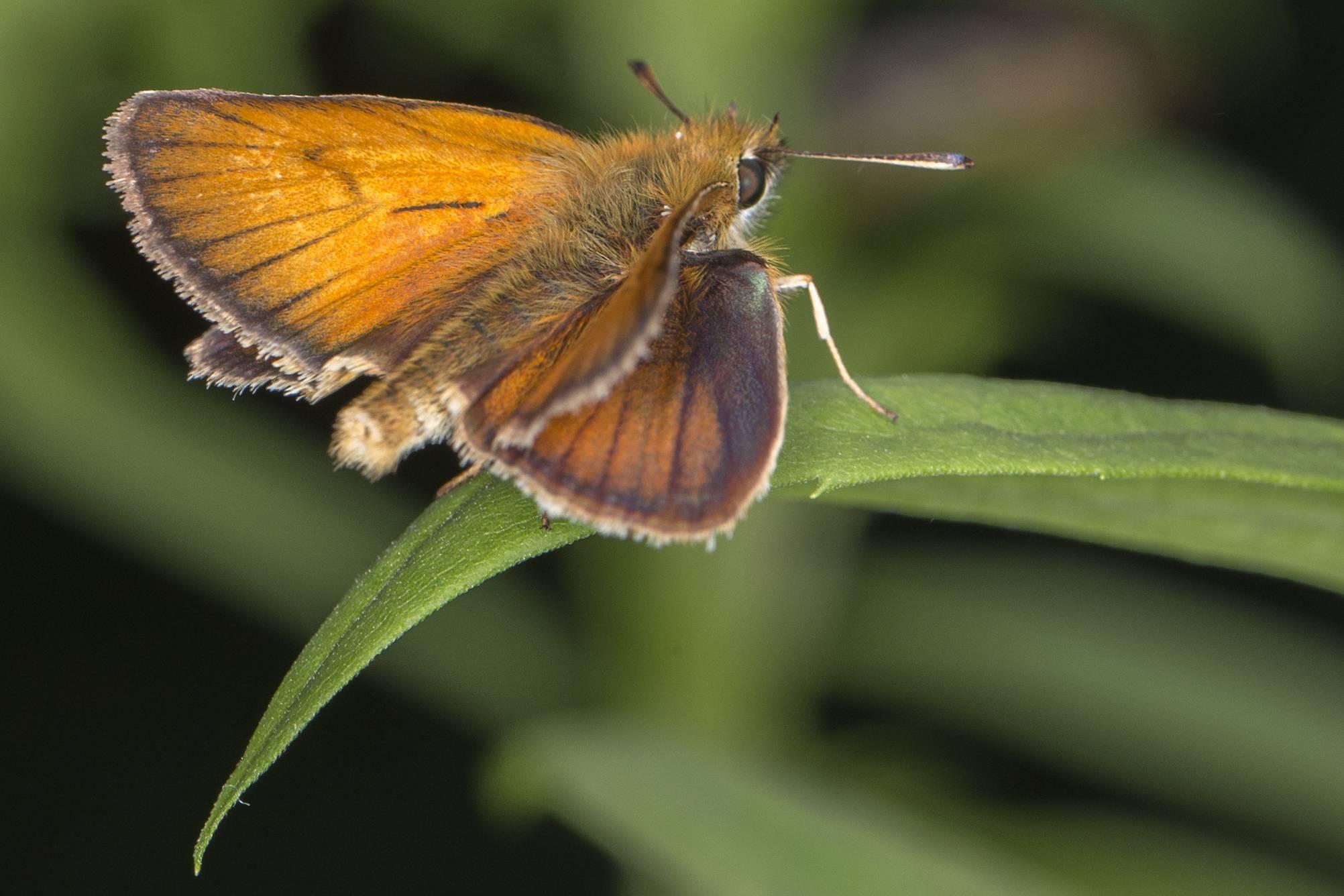 Сатир боровой, или бархатница семела