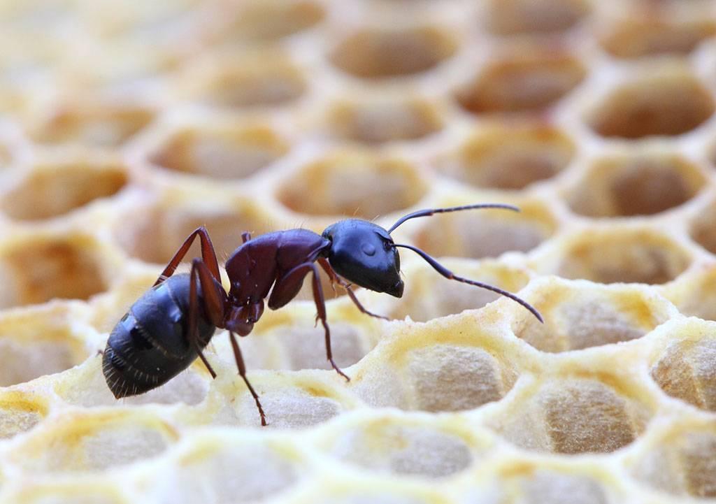 Как избавиться от муравьев на пасеке в улье с пчелами