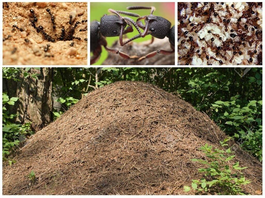 Чем питаются муравьи в дикой природе и на дачном участке
