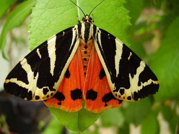 Бабочки–медведицы. бабочка медведица госпожа – летнее чудо у ручья виды бабочек медведиц