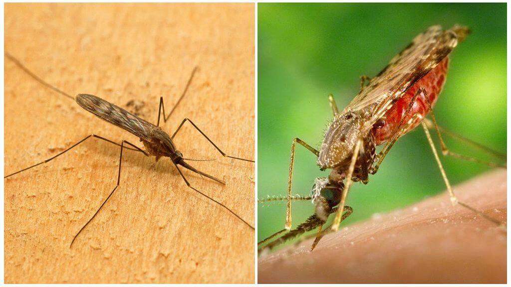 Вся правда о малярийных комарах - опасны или нет