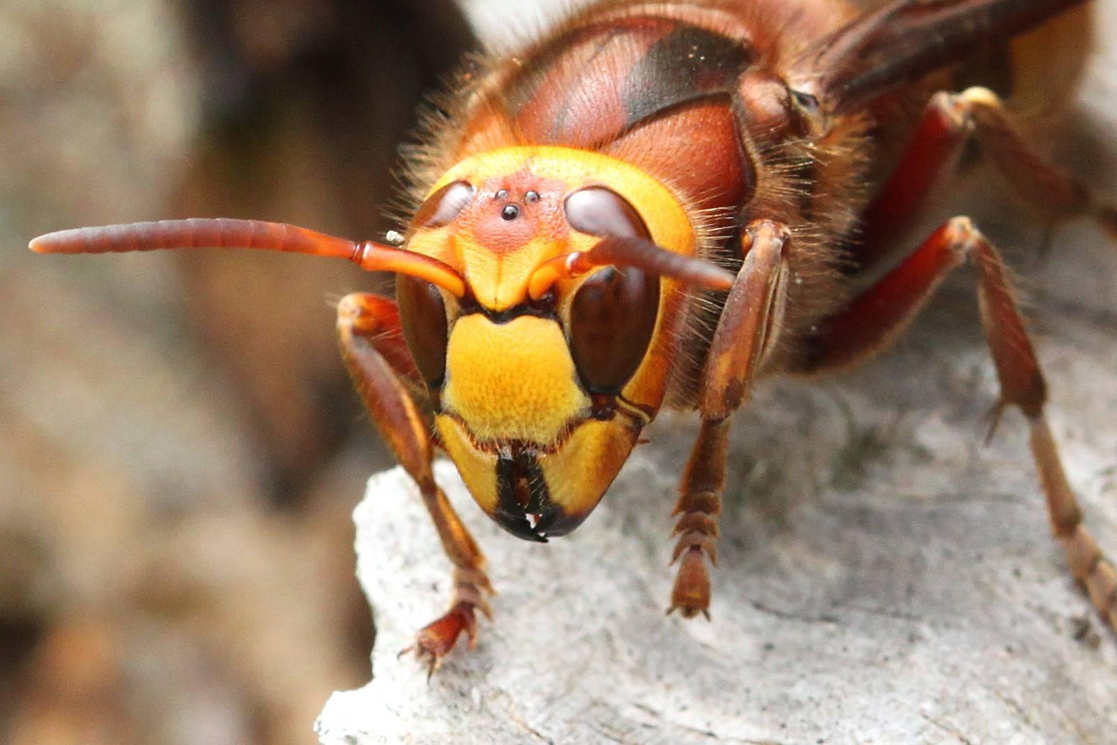 Укус осы, шмеля, шершня и его последствия, что делать, если укусили, первая помощь, фото