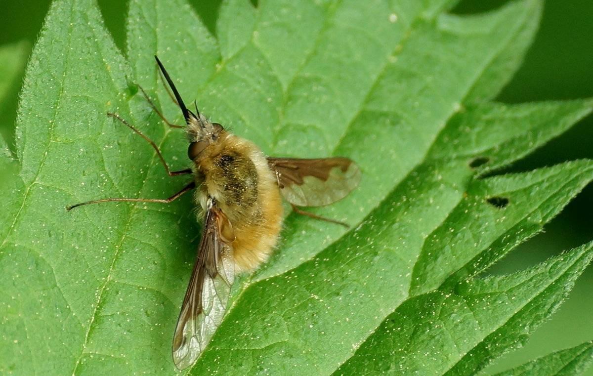 Особенности небесного усача: внешний вид и жизненный цикл насекомого