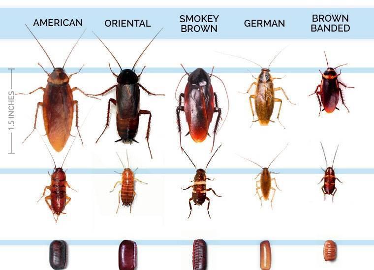 Виды тараканов: фото и описание насекомых