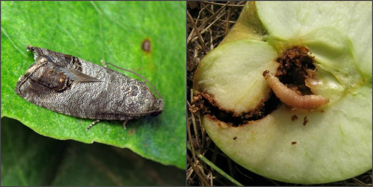 Вредители яблони: как с ними бороться и когда проводить обработку