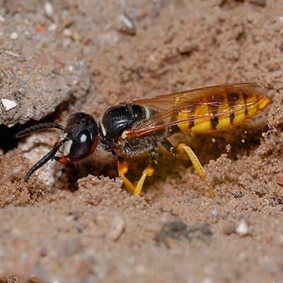 Как выглядят земляные осы и как от них избавиться?