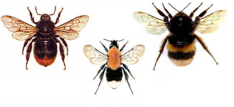 Пчела-плотник - фото