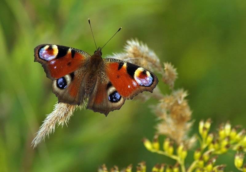 Бабочка павлиний глаз: как выглядит и чем питается?