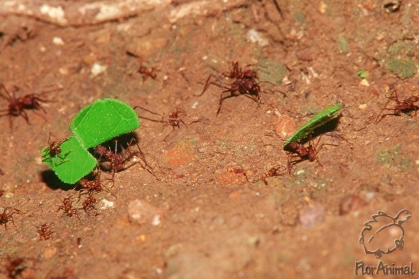 """Прочитайте онлайн операция """"лесные муравьи»   муравьи-листорезы"""
