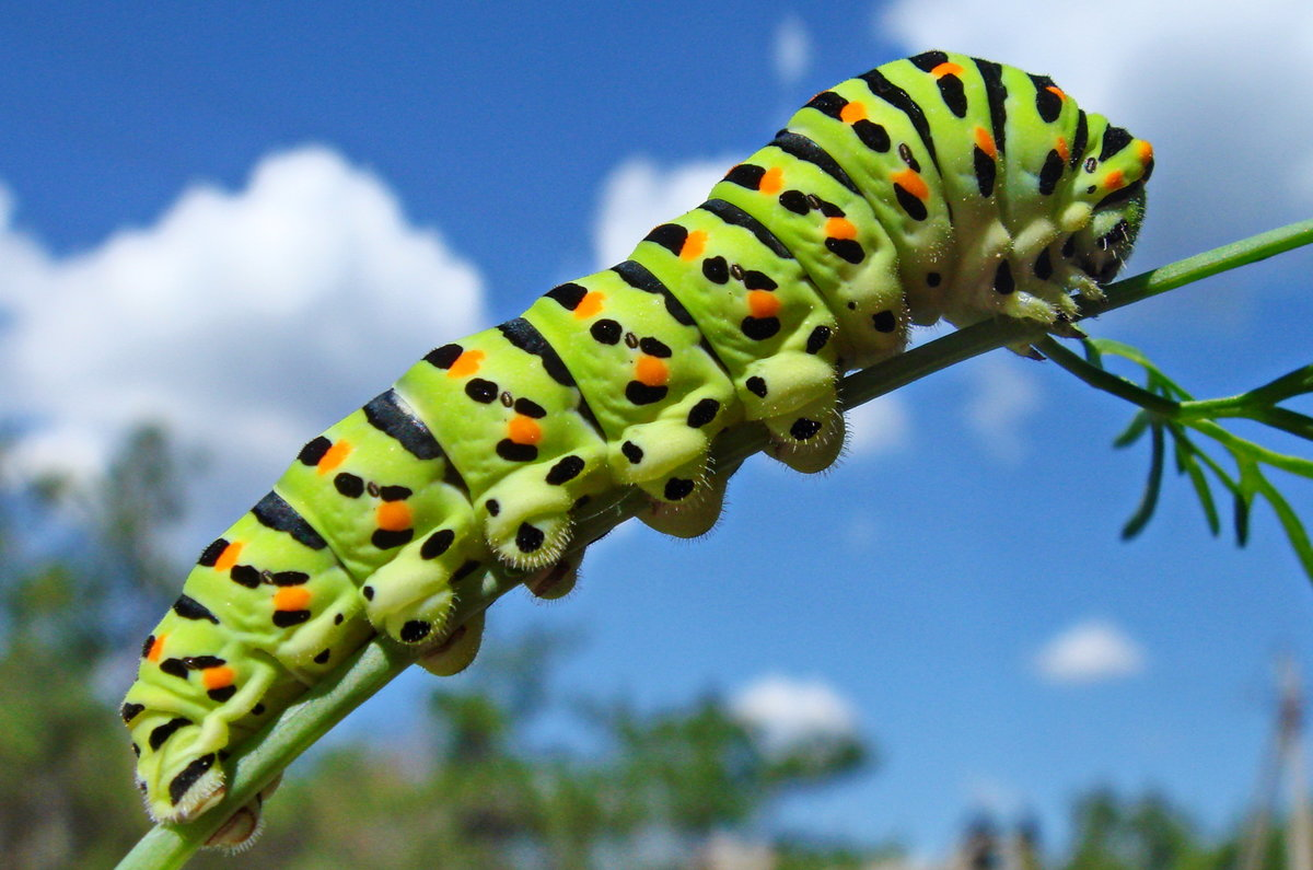 Махаон бабочка: внешний вид и особенности, интересные факты