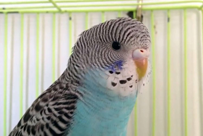 Блохи и другие паразиты у волнистых попугаев