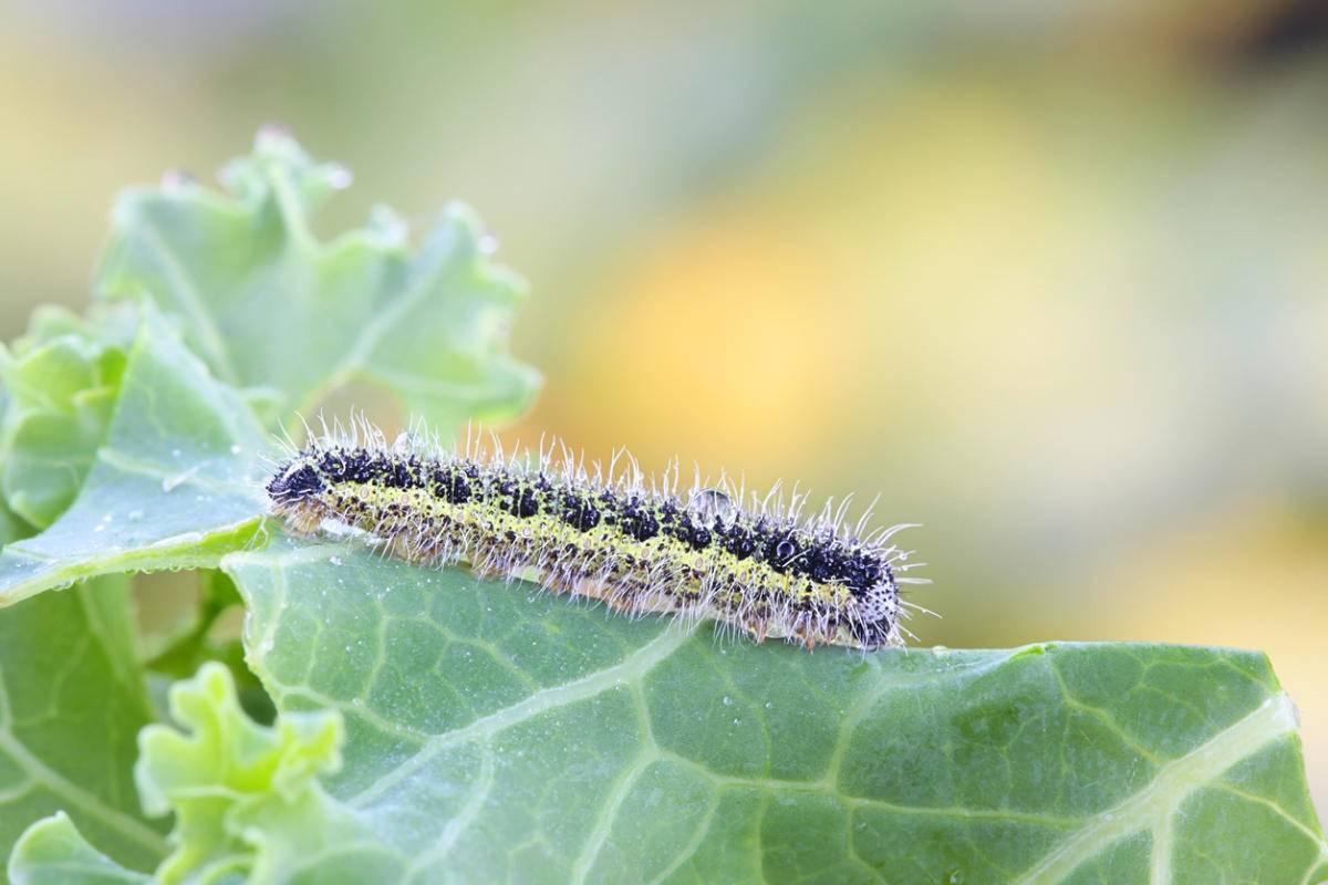 Чем из народных средств обработать капусту от гусениц, как полить или опрыскать химикатами, чтобы избавиться от вредителей, уберечь рассаду и защитить овощ?