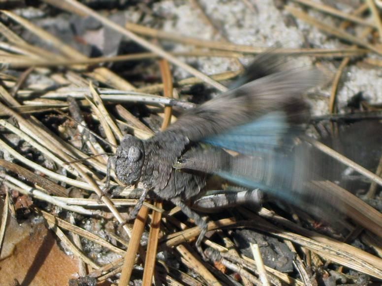 Кобылка голубокрылая: фото и образ жизни насекомых