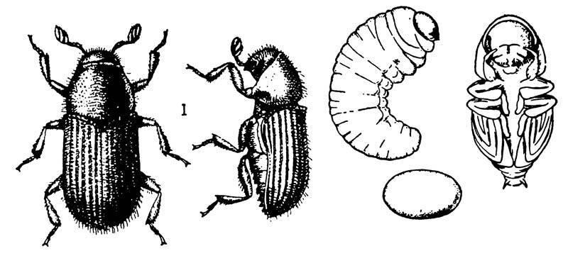 Короед березовый: особенности развития и питания олифага