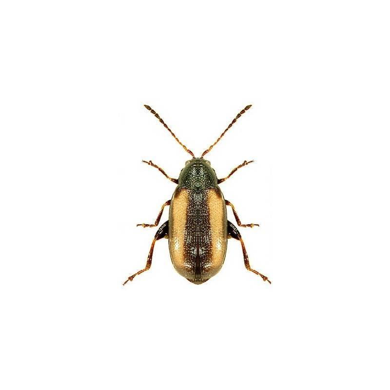 Меры борьбы с гессенской мухой: обработка грунта и химические средства