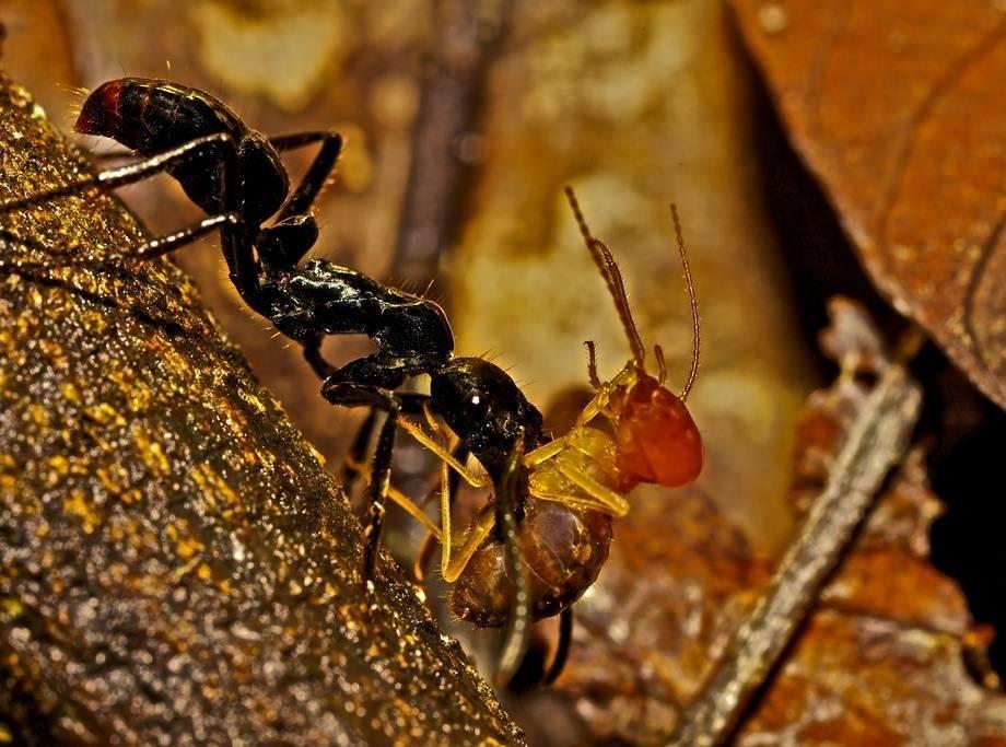 Самые большие муравьи, самый большой муравейник