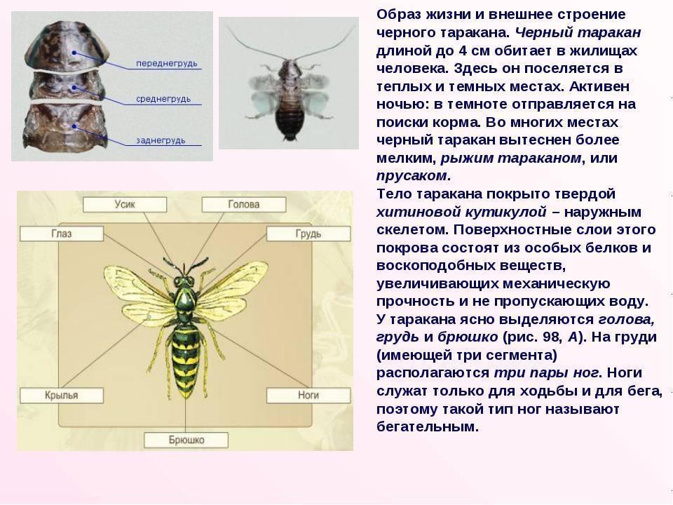 Грызуны: описание, строение, образ жизни, представители отряда