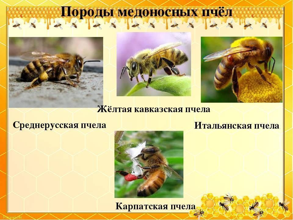 Плодная карпатская пчела и ее отличия от карника