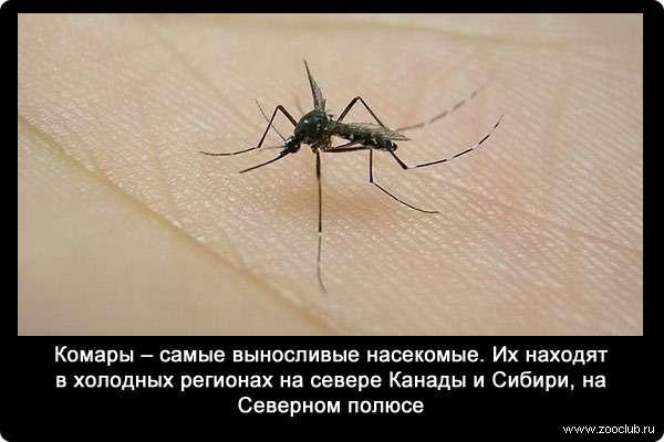 Интересные факты о комарах, или за что уважать кровососа. факты о комарах факты про летательные способности