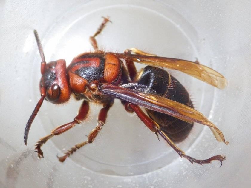 Оса - 105 фото насекомого с болезненным укусом и острым жалом