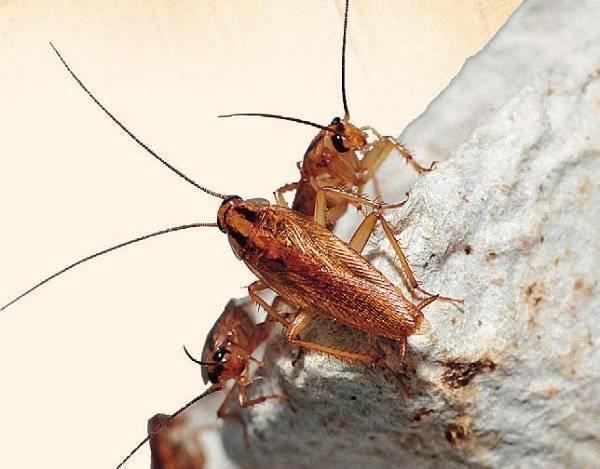 Средства от рыжих тараканов в квартире