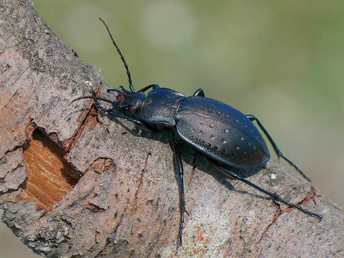 Carabus cancellatus: внешний вид и рацион питания крупного жука