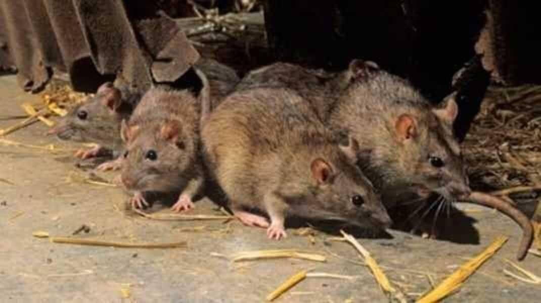 Полный гайд по запахам, которые отпугивают мышей