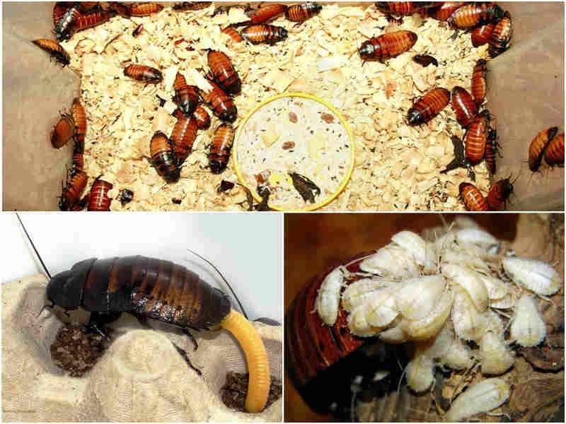 Как происходит размножение тараканов?