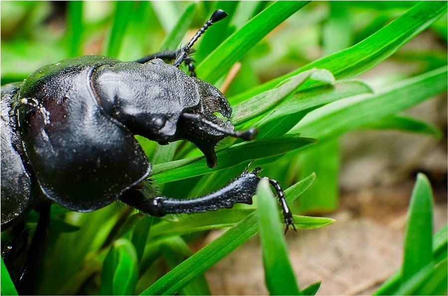 Жук стригун — описание, фото, методы борьбы с жуком кравчиком