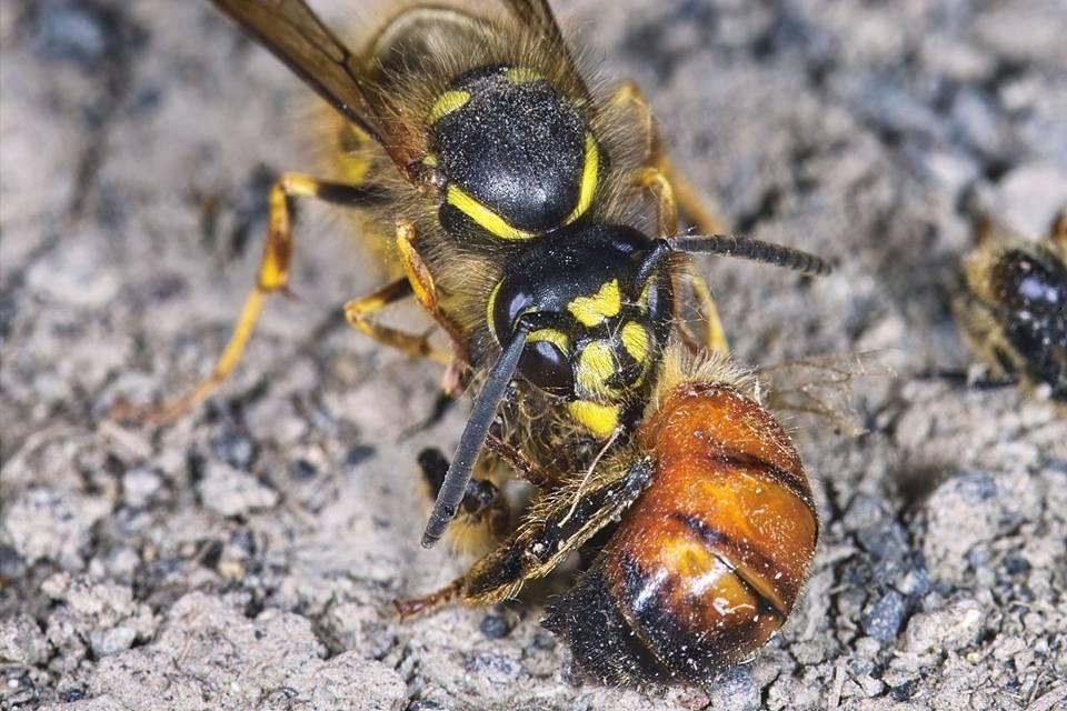 Как избавиться от пчел соседа правильно и быстро и законно?
