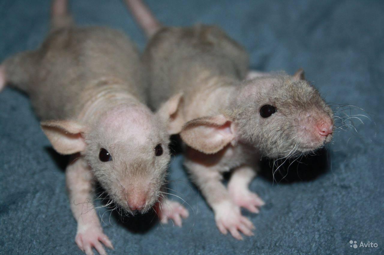 Крысиный помет - фото и отличия