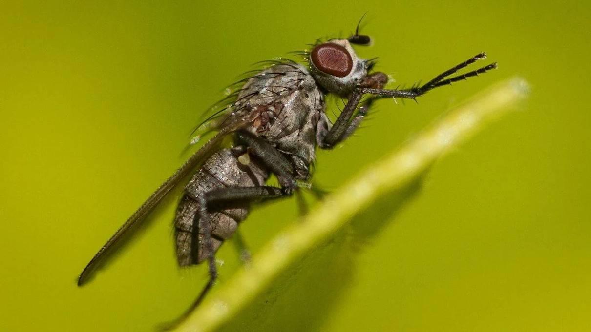 Почему мухи потирают лапкой о лапку?