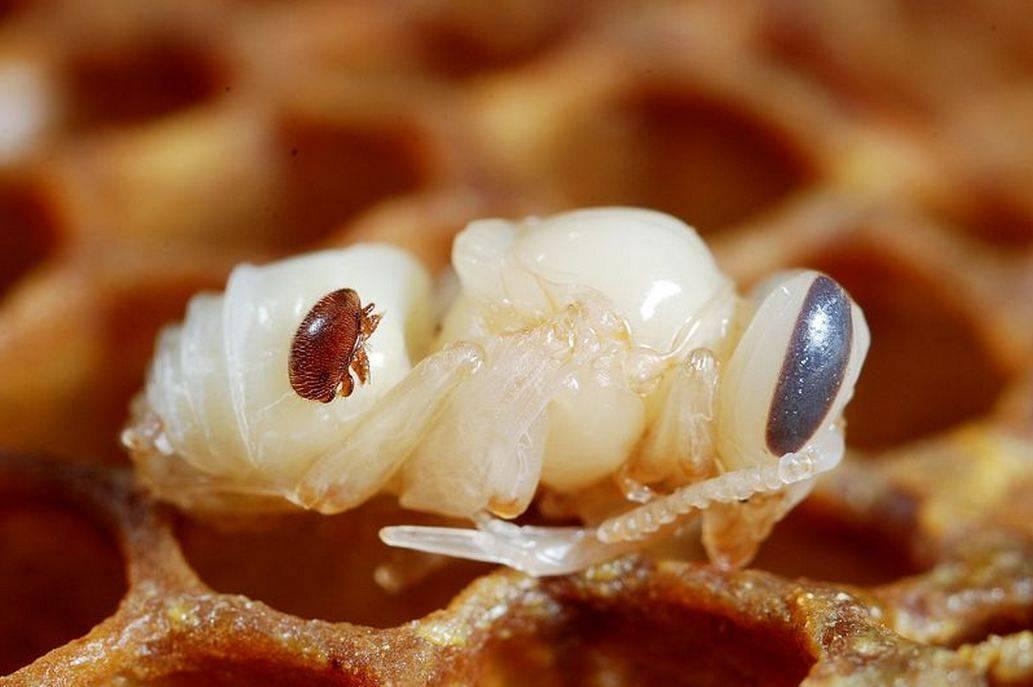 Пчелиный клещ варроа