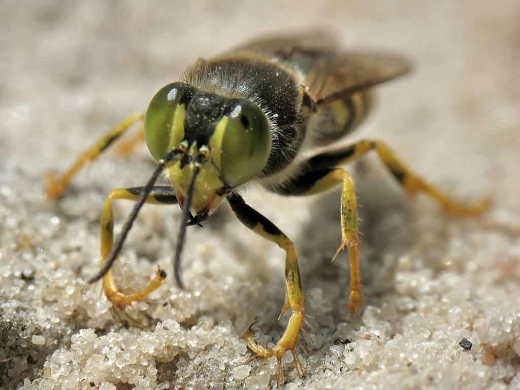 Бембекс носатый: хищная оса на песчаном берегу, особенности заботы о потомстве