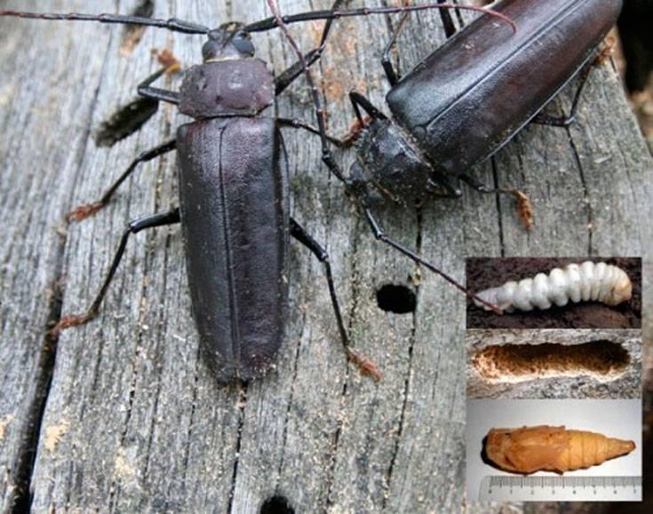 Шашель – жук вредитель древесины. как избавиться, уничтожить? способы борьбы с шашелем
