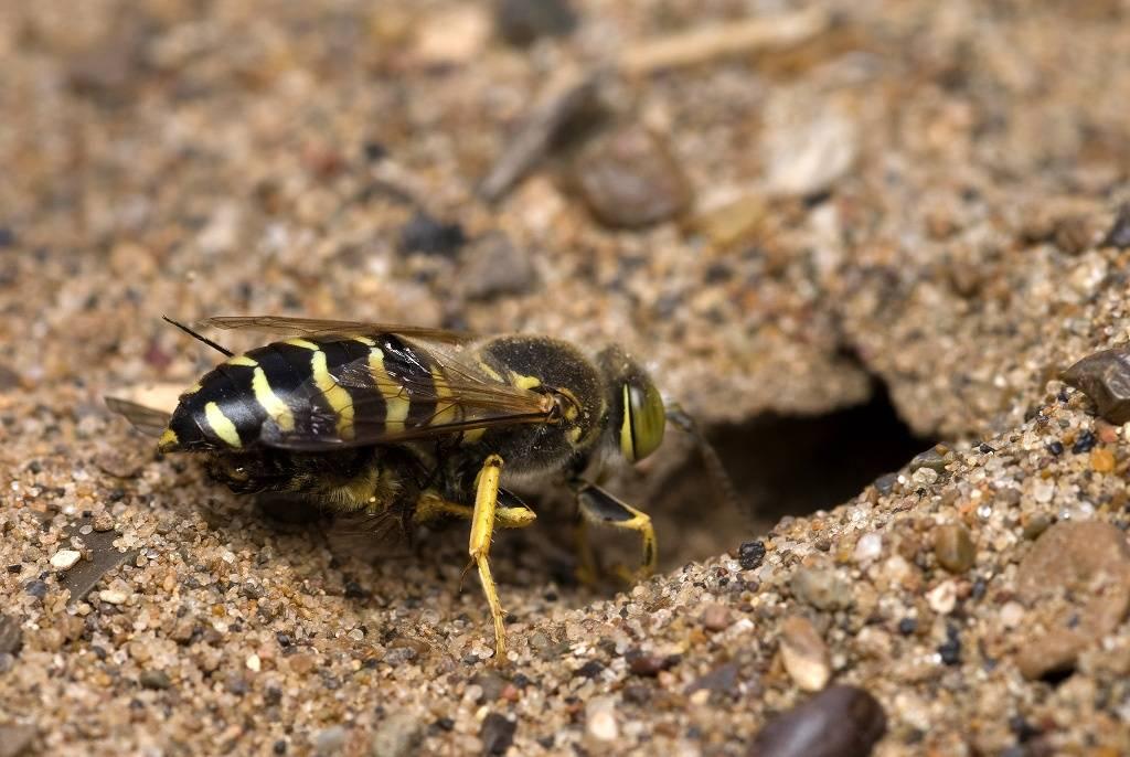 Малинная муха: профилактика и методы борьбы