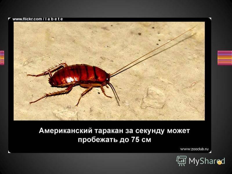 Лесной таракан: образ жизни и родственные виды насекомого
