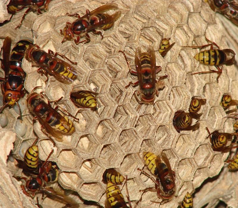 Как избавиться от ос: препараты для уничтожения насекомых и народные способы