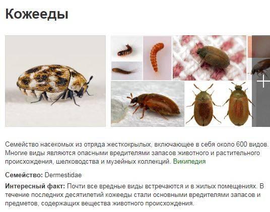 Жук кожеед в квартире: как избавиться и фото / vantazer.ru – информационный портал о ремонте, отделке и обустройстве ванных комнат
