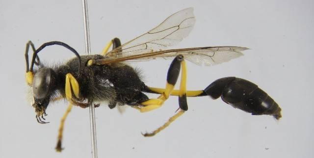 Оса: виды, описание, фото насекомого