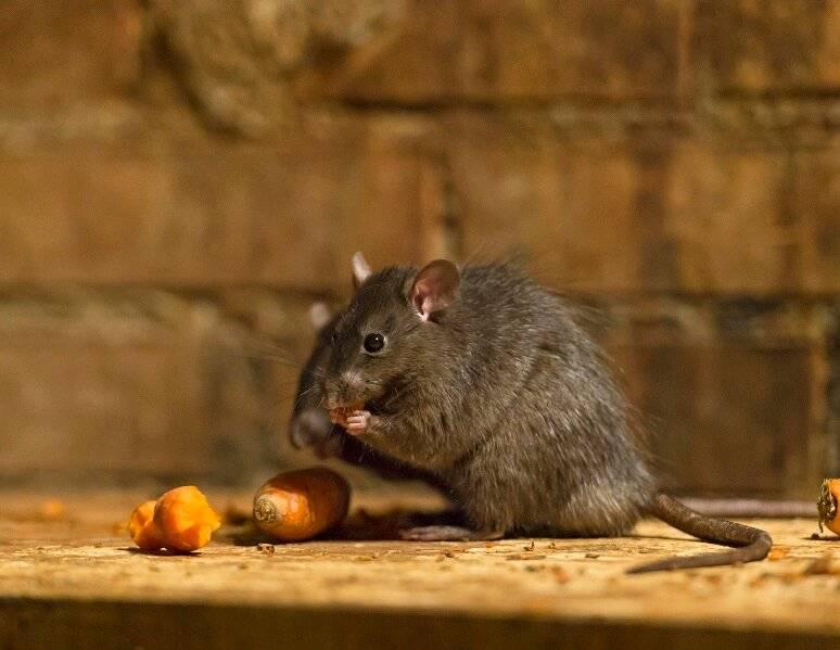 28 интересных фактов о крысах