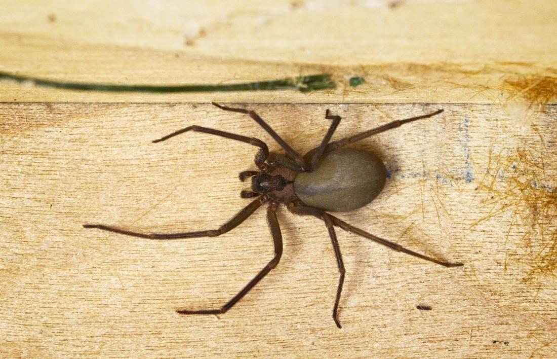 10 пауков, которых действительно стоит опасаться (10 фото)