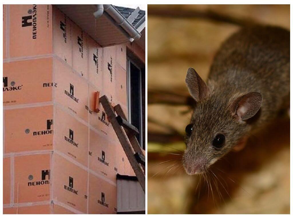 Какой утеплитель не грызут мыши и крысы: едят ли монтажную пену, в каком не заводятся, пеноплекс и пенопласт