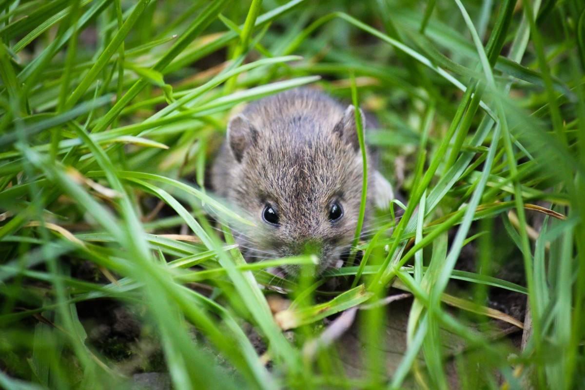 Как избавиться от крыс и мышей с помощью трав » перуница