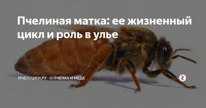 Как выглядят матка пчел и королева ос: описание и образ жизни
