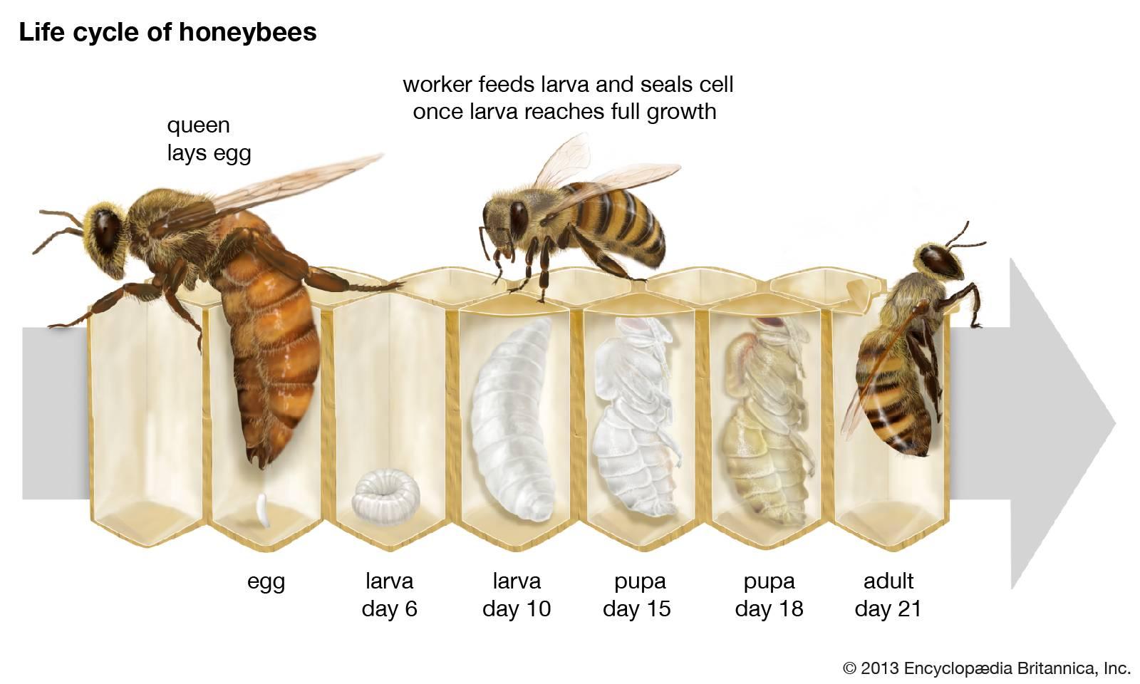 Развитие пчелиной семья и стадии развития пчел