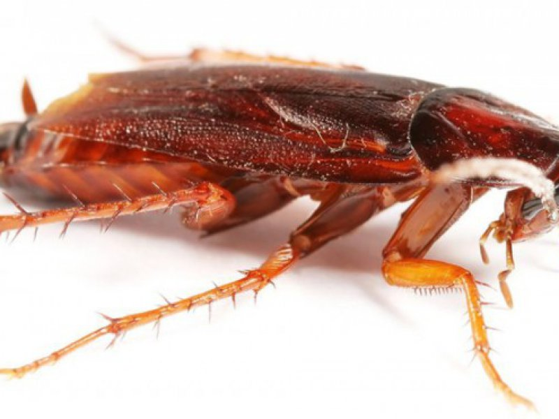 Почему ушли тараканы из домов: версии ухода насекомых из квартир и повторного появления