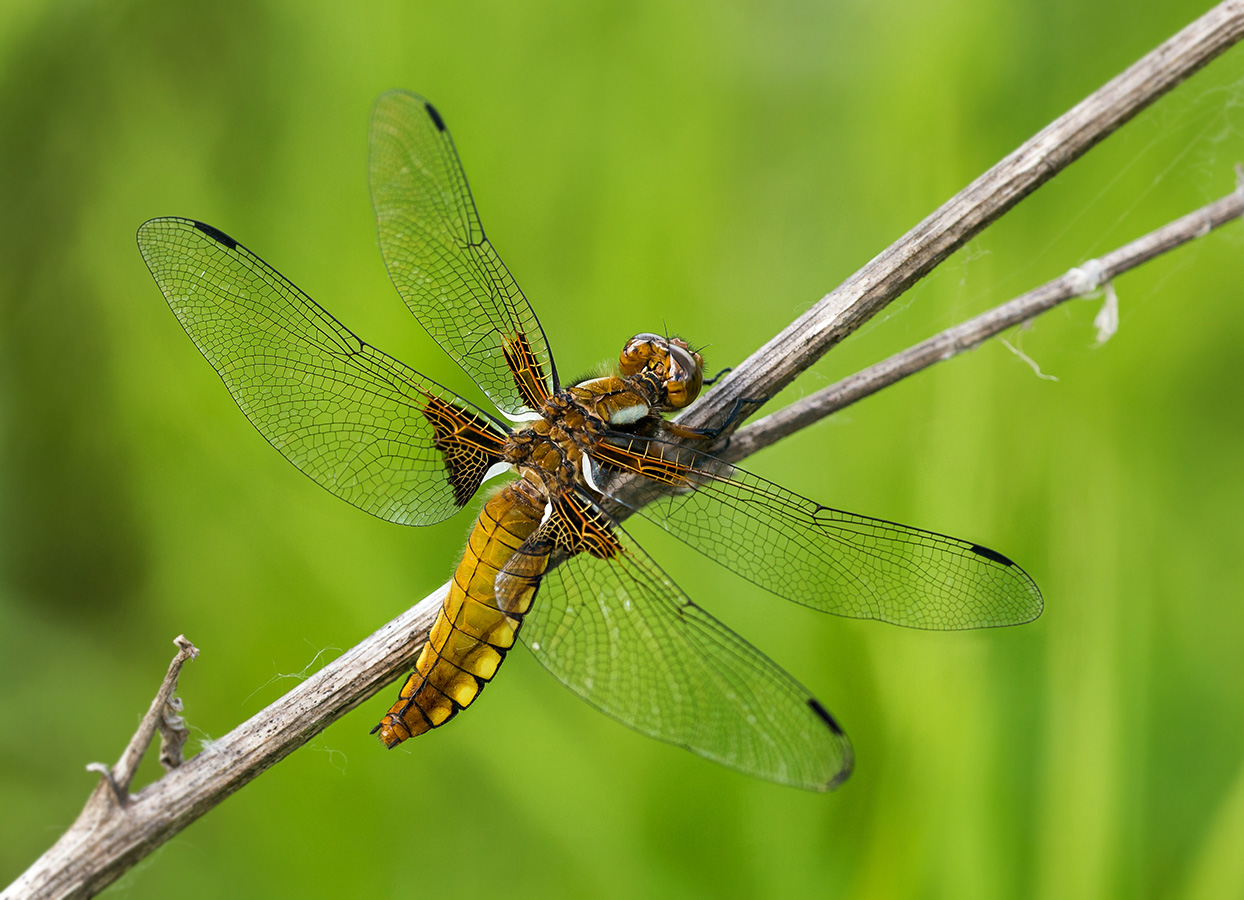 Желтая стрекоза: фото и образ жизни