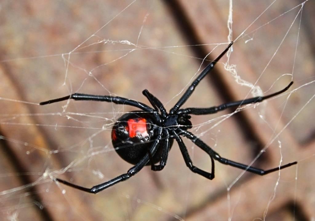 Самые опасные насекомые и пауки средней полосы россии   русская семерка