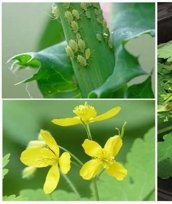 Применение чистотела в саду от вредителей.